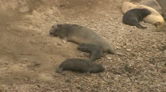 P02576 Elephant Seal Cow and Pups Stock Footage