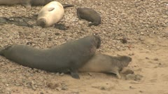 P02580 Elephant Seal Bull and Cow in Breeding Season Stock Footage