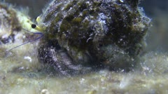 Hermit Crab Walking on a Rock, Clip 2 of 3 Stock Footage