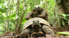Yellow-footed tortoise (Chelonoidis denticulata) Stock Footage