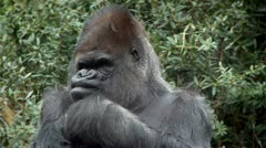 gorilla - stock footage