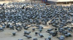 Many pigeons in Jaipur India Stock Footage