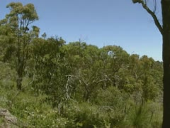 Eucalyptus, forest + pan valley in Ku-ring-gai Chase national park, Australia - stock footage