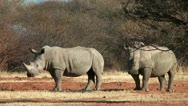 Two white rhinoceros in namibia,africa walking through the bush Stock Footage