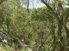 Eucalyptus forest + valley at  Illawong Bay in Ku-ring-gai Chase national park Stock Footage