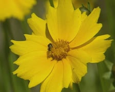 Yellow flower with insect, pollinator Stock Footage