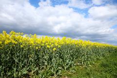 Rape crop growing under a cloudy sky. Stock Photos