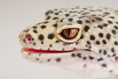 A beautiful portrait of a leopard gecko Stock Photos
