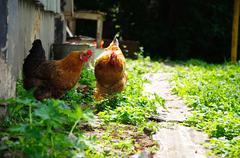 two chicken. rural outdoor scene - stock photo