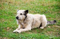 mongrel dog sitting on a grass - stock photo