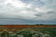 Stock Photo of landscape with poppies and chamomile-5