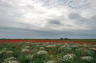Stock Photo of landscape with poppies and chamomile-9