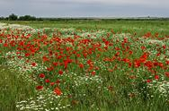 Stock Photo of landscape with poppies and chamomile-8