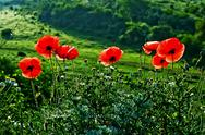Stock Photo of landscape with poppies-1