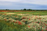 Stock Photo of landscape with poppies and chamomile-11