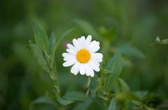 One white camomile on green blur backgrounds. Beauty of nature - stock photo
