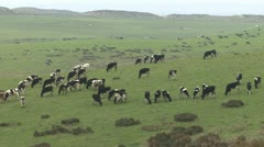 P02606 Lehmät laiduntavat Kaliforniassa Arkistovideo