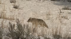 P02609 Coyote Walking Through Deep Snow at Yellowstone Stock Footage