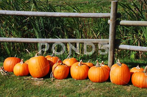 Stock photo of pumpkin row