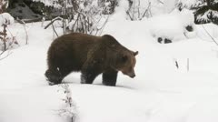 Brown bear in winter Stock Footage