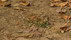 P02627 Leaf Cutter Ants at Blockage in Trail Stock Footage