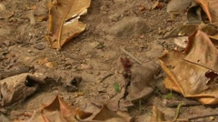 P02626 Leaf Cutter Ants Carrying Leaves Stock Footage