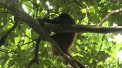P02624 Spider Monkey in Costa Rica Rain Forest Stock Footage