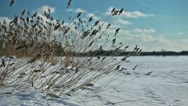 Yellow grass swaying in the wind on a frozen lake shore in winter season Stock Footage