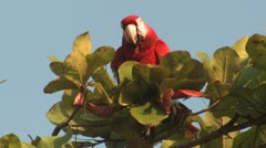 P02629 Macaw Feeding in Almond Tree in Costa Rica Stock Footage