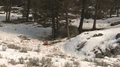 P02608 Coyote Feeding on Elk Carcass at Yellowstone National Park Stock Footage