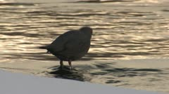 P02620 Water Dipper at Yellowstone National Park with Backlight Stock Footage