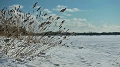 Dried grass swaying in the wind on a frozen lake shore - stock footage