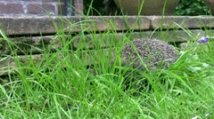 Hedgehog in the grass of a garden in England Stock Footage