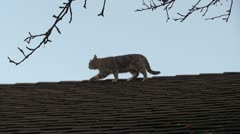 Feral Cat walking on Roof Stock Footage