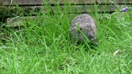 Stock Video Footage of Hedgehog in the grass of a garden in England