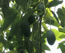 Avocado hass in tree, zoom out Stock Footage