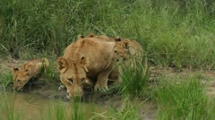 Lion cubs drinking with their mother Stock Footage