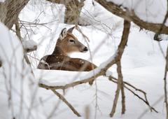 whitetail deer doe - stock photo