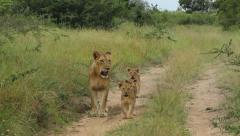 Lion cubs walking with their mother Stock Footage