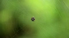 Crab Spider in its web, defending and repairing (part 1 of 2) Stock Footage