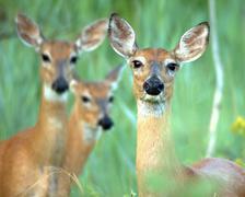 whitetail deer  doe(odocoileus virginianus) - stock photo