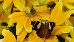 Yellow Admiral Butterfly & Hoverfly on flowers.MTS Stock Footage