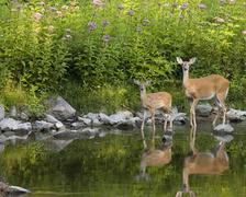 whitetail deer  doe and fawn (odocoileus virginianus) - stock photo