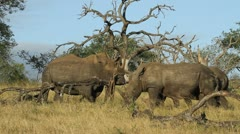 Three white rhinos in the veld. - stock footage