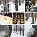 Stock Photo of Maple syrup production