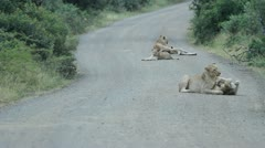 Lions playing in the middle of the road. Stock Footage