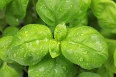 Close up of basil leaves Stock Photos