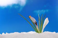 spring winter: crocus in snow - stock photo