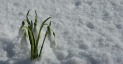 Ultra HD 4K Beautiful Snowdrop Flowers in Snow, Spring Season, Cold Mountain Stock Footage