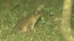 P02651 Cane Toad in Costa Rica Stock Footage
